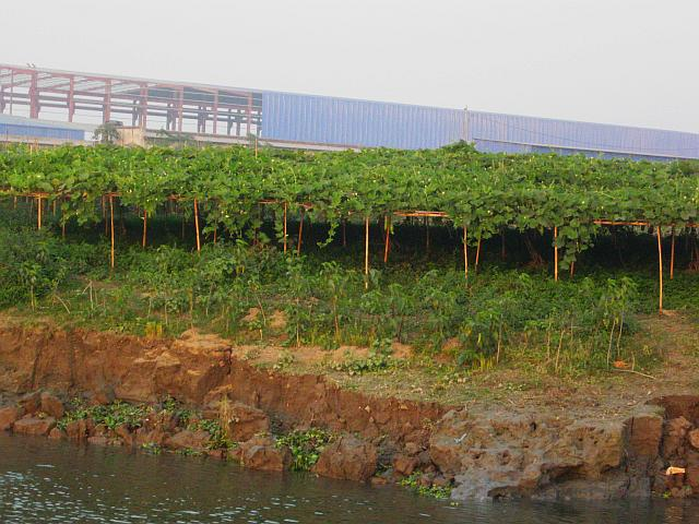 Weak attempts at farming on the river bank show up as squash-growing