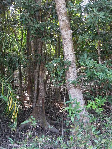 Sundari trees, after which the Sundarbans take their name