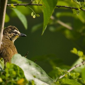 Encounter – White-browed Bulbul