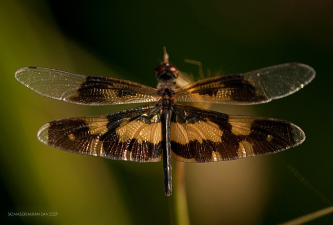 Common picture wing female