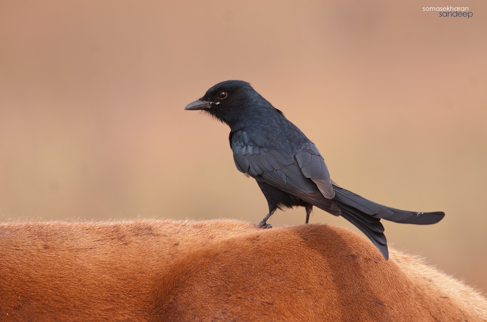 A black drongo riding on a cow. Note the white spot and the duller eye.