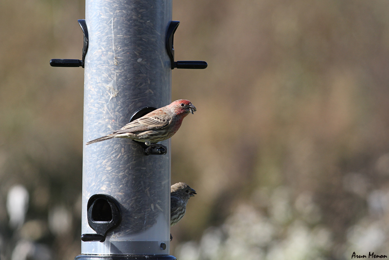 House Finch at a feeder