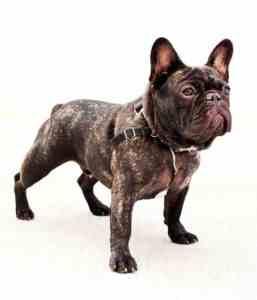 French Bull Dog Greenpoint Nicolas Maloof