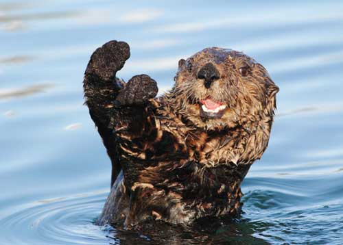otter waving cute