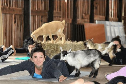 Yoga with goats. Photo via NYGoatYoga on Instagram