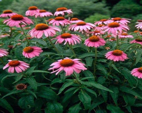 Echinacea+purpurea