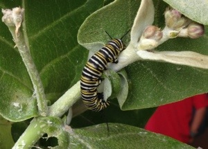 Caterpillars are growing at The Green Preschool in Kailua!