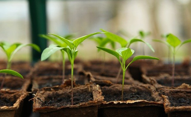Seedlings in Dirt Pots