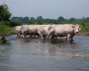 Cows in the Semois River