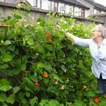 Valerie picking runner beans in 2010 at Goresbridge Community Garden