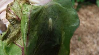 Beet Leaf Miner