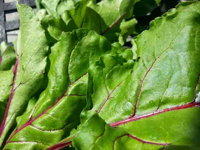 Thinning Beetroot ~ Now's the Time