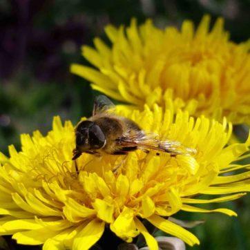 How Honey Bees Make Honey   greensideup.ie