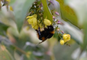 A spring bee feeding on a Mahonia flower