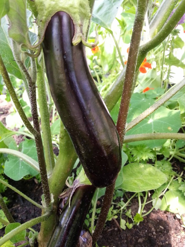 Aubergines growing at Goresbridge Community Garden