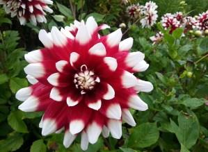 colourful dahlia