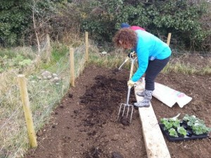 preparing raspberry beds at Kilkenny Allotments and Community Gardens