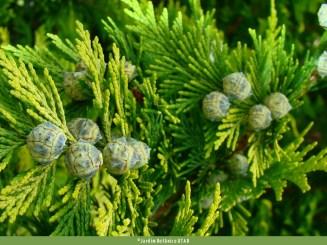 Chamaecyparis lawsoniana. Autor: JBUTAD