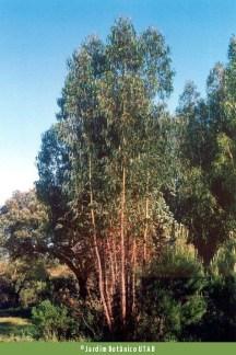 Eucalyptus globulos. Autor: JBUTAD