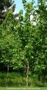 Prunus avium: Autor: JBUTAD, Isabel Garcia-Cabral