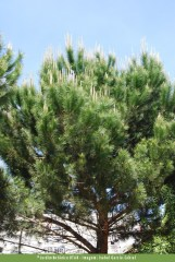 Pinheiro-manso (Pinus pinea)