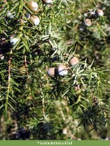 Zimbro (Juniperus oxycedrus)