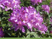 Rododendro (Rhododendron ponticum)