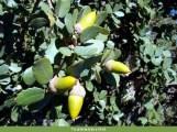 Azinheira (Quercus rotundifolia)