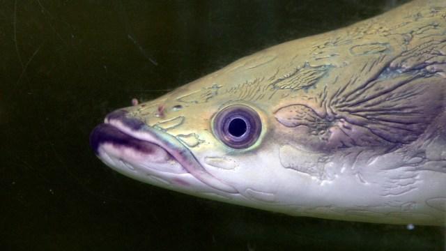 Arapaima, einer der größten Süßwasserfische der Welt