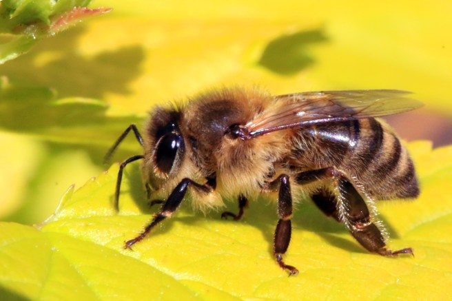 An image of the honey bee (Apis mellifera). Evidence that neonicotinoids are safe for bees.