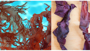 The left image shows the red seaweed dulse growing in blue ocean water. The right image shows crispy dulse on a wooden board.