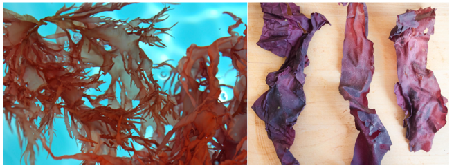 Seaweed sustainability and nutrition. The left image shows the red seaweed dulse growing in blue ocean water. The right image shows crispy dulse on a wooden board.