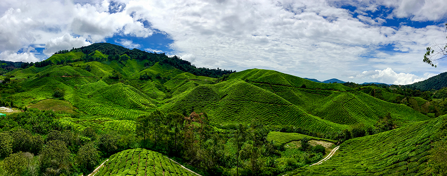 BOH Tea Plantation panview