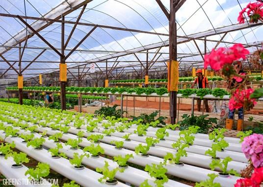 Cameron Highland Strawberry Farm