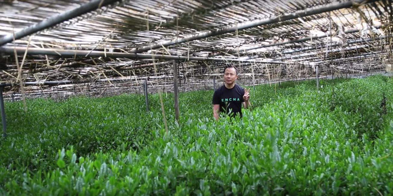 Green Tea Matcha Farming