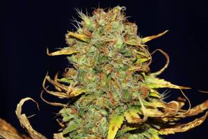 Best Seeds online
