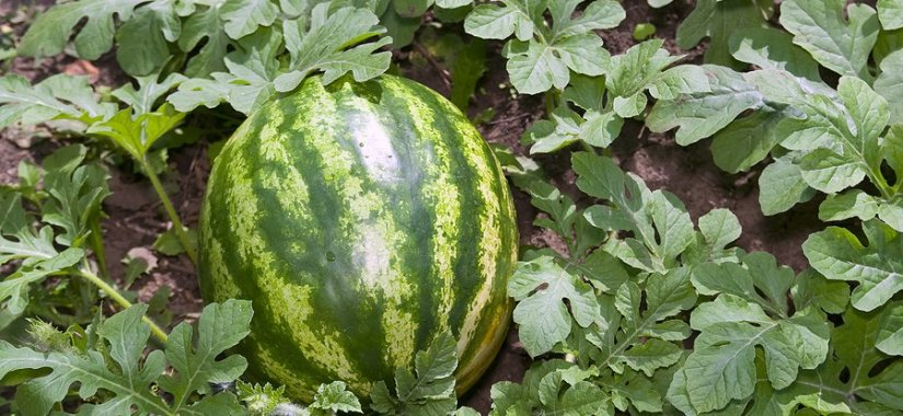 Tips on growing watermelon