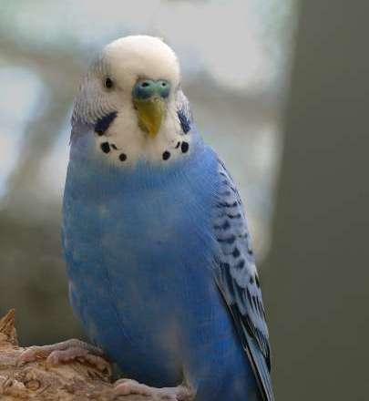 Teflon Toxicity in Parakeets