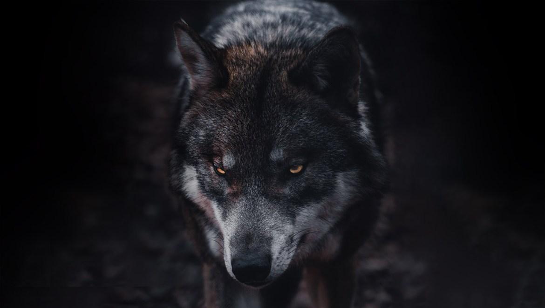 À la rencontre d'un animal dangereux en nature : Le loup