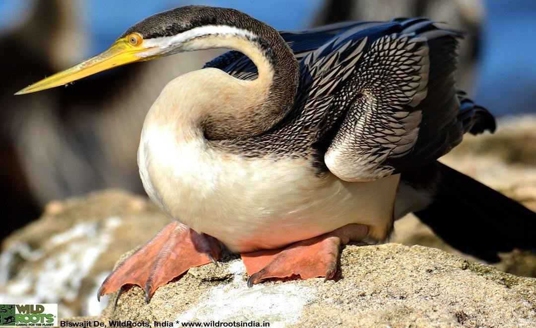 Australasian Darter, Perth: Photo poem of wildlife birds in Australia