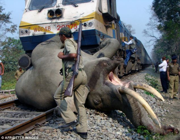 429 Elephants Killed in India in Past 10 Years By Poachers