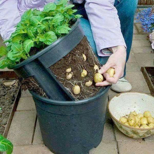 Genial Grow Organic Potato At Home