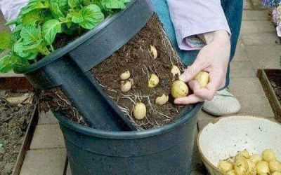9 steps on how to grow your own organic potatoes at home