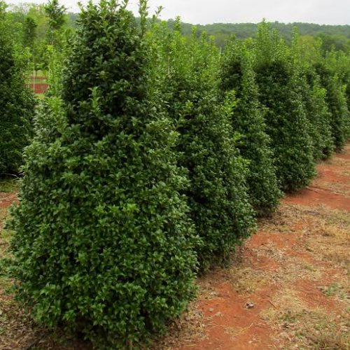 Green Valley Farms  Evergreen Trees
