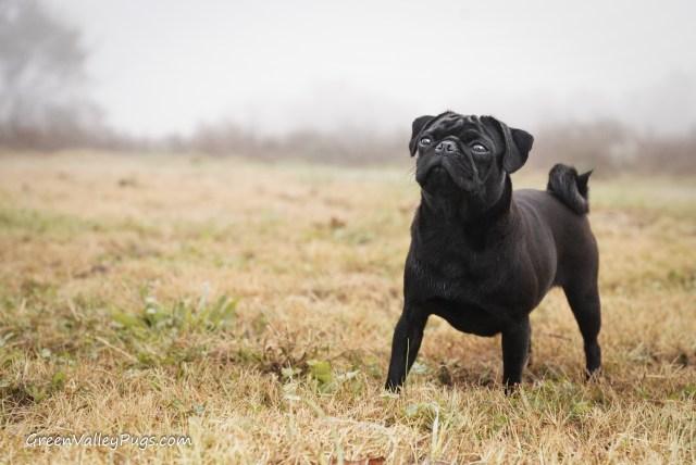 Black pug in field.