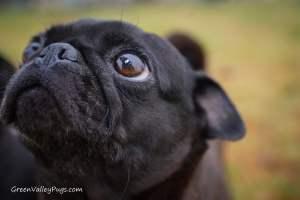 close up of black pug
