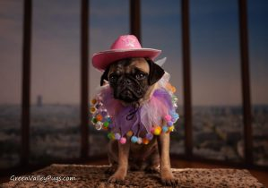 fawn pug with cowboy outfit on.