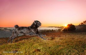 running black pug with fog and sunrise in background.