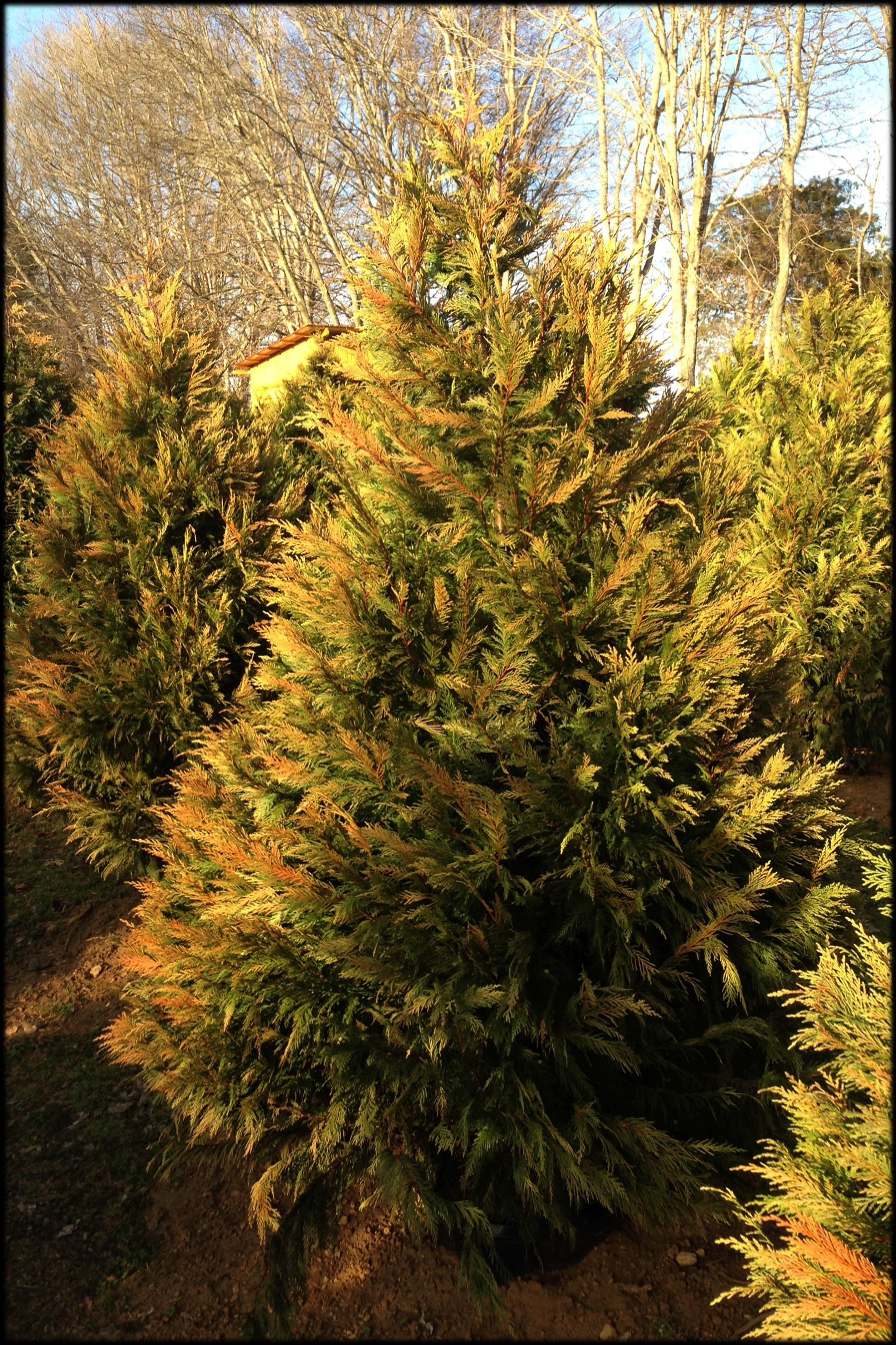 Leyland Cypress 67 Ft  Green View Trees
