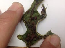 vein pocket gall_o